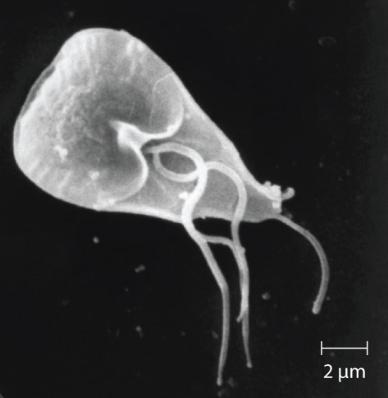 Hình 5. Giardia lamblia , một ký sinh trùng đơn bào đường ruột lây nhiễm sang người và các động vật có vú khác, gây tiêu chảy nặng. (tín dụng: sửa đổi công việc của Trung tâm Kiểm soát và Phòng ngừa dịch bệnh)