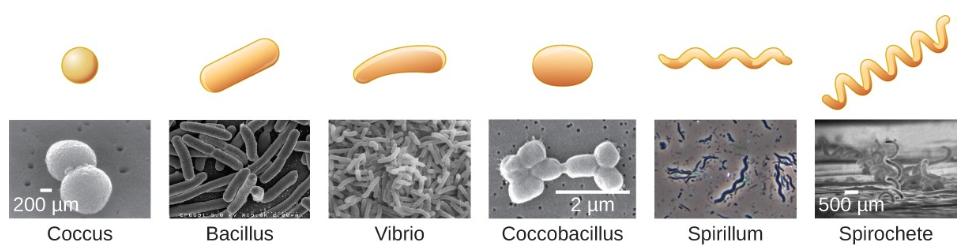 Hình dạng vi khuẩn phổ biến. Lưu ý cách coccobacillus là sự kết hợp của vi khuẩn hình cầu và hình que (trực khuẩn). Sửa đổi bởi : Janice Haney Carr, Trung tâm kiểm soát và phòng ngừa dịch bệnh;