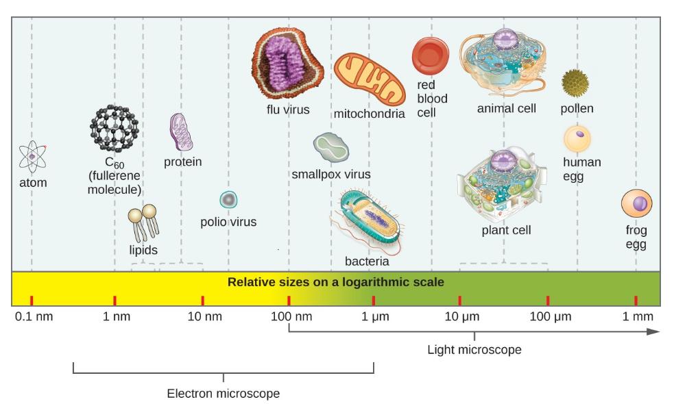 Hình 1. Kích thước tương đối của các đối tượng vi mô và không vi mô khác nhau. Lưu ý rằng một loại virus điển hình đo khoảng 100 nm, nhỏ hơn 10 lần so với một vi khuẩn điển hình (~ 1 µm), nhỏ hơn ít nhất 10 lần so với một tế bào thực vật hoặc động vật điển hình (~ 10–100 µm). Một đối tượng phải đo khoảng 100 µm để có thể nhìn thấy mà không có kính hiển vi.