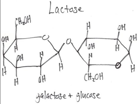 Galactose kết hợp với glucose tạo thành Lactose