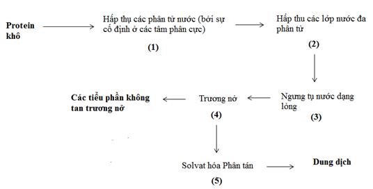Quá trình hydrat hóa một protein ở dạng khô