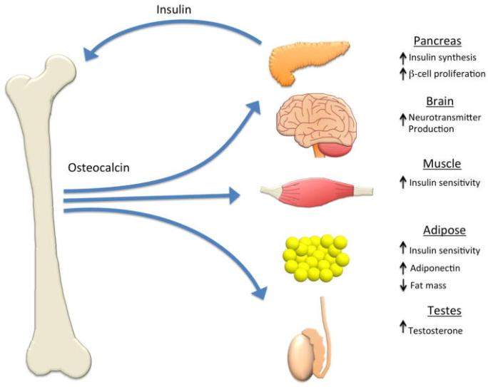 osteocalcin là gì