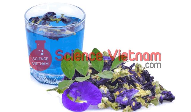 Blue Tea - Hoa Đậu Biếc