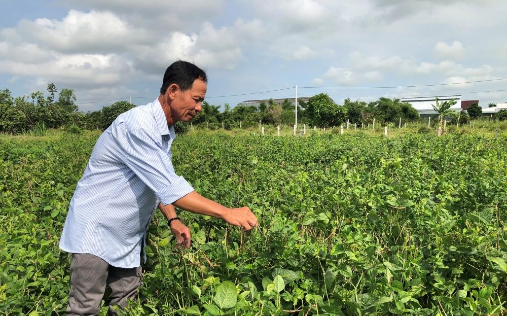 Cây đậu đen được trồng ở nhiều địa phương trên cả nước
